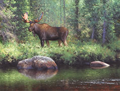 Bull Moose by the River, Wildlife painting of moose in northern forest, boreal river