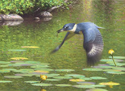 Oil painting, Kingfisher flying over summer pond with lily pads, yellow water lilies