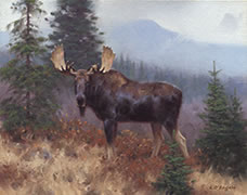 Bull moose in rainy weather, boreal forest Laurentians
