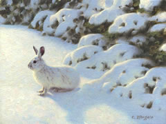 Snowshoe Hare painting, white showshoe hare in winter, varying hare, rabbit in snow