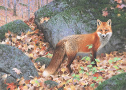 Woodland Fox, red fox in fall autumn forest